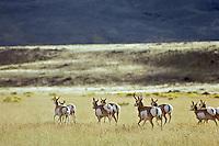 Pronghorn Antelope (Antiloapra americana) herd running.  Western U.S., fall.