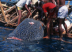 Lamelera 's whalers hunting the whale shark (the biggest fish in the ocean).  Lembata island. West of  Nusa Tengarra islands. Indonesia.