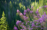 Idaho, North Central, Clearwater National Forest, Bitterroot Mountains. Fireweed against a backdrop of evergreen forest.