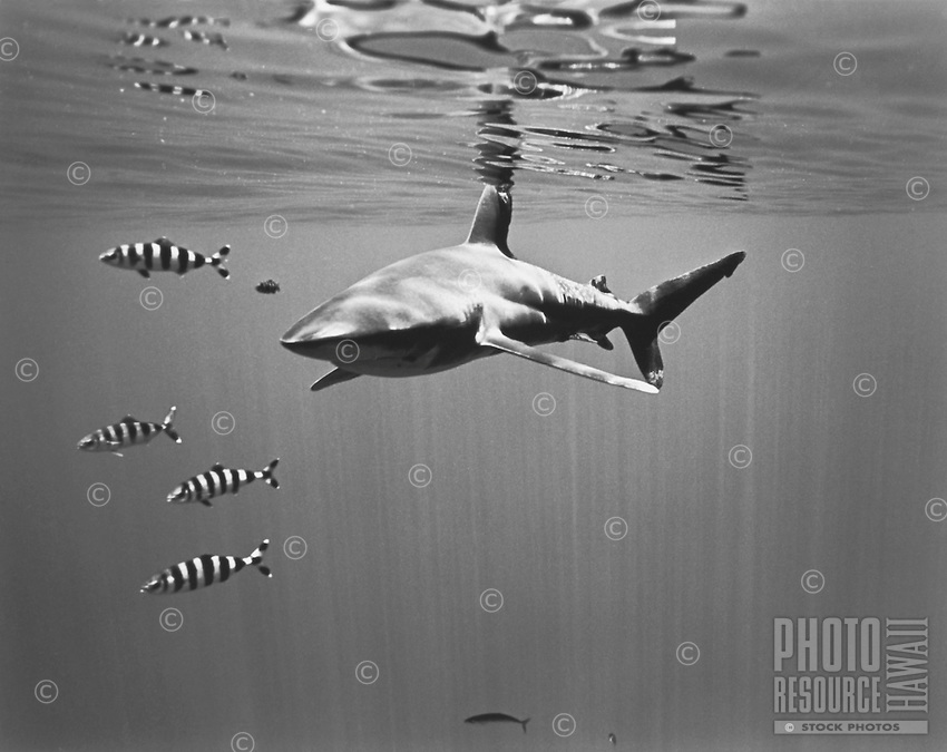 Oceanic Whitetip Shark with Pilot Fish, Big Island of Hawaii