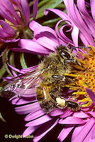 0B04-037b   Honeybee pollinating aster -Apis mellifera
