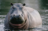 The hippopotamus might appear to be a figure of fun but he can often be extremely aggressive. It is not at all uncommon for hippos to attack boats, especially small ones, in Africa, sometimes with fatal results.