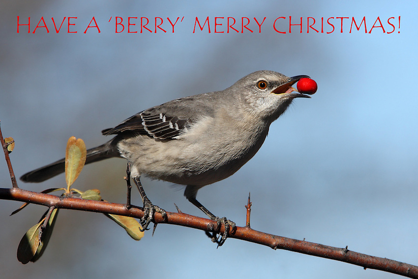 Northern Mockingbird in the holiday spirit of Christmas, mid-December.