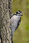 A Cute Little Bird, The Downy Woodpecker Perched On A Tree Trunk Against A Green Background, Picoides pubescens, Southwestern Ohio, USA