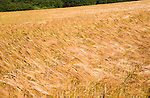 Field of golden barley in summer, Shottisham, Suffolk, England