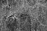 winter berry behind a mill, Fitchburg, MA black & white