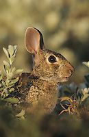 Eastern Cottontail, Sylvilagus floridanus, adult, Lake Corpus Christi, Texas, USA, May 2003