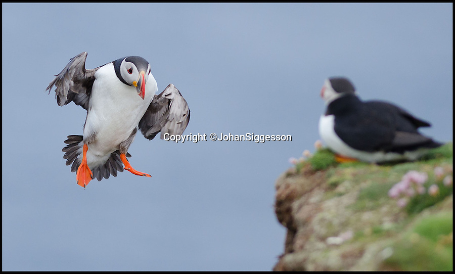 """BNPS.co.uk (01202 558833)<br /> Pic: JohanSiggesson/BNPS<br /> <br /> ***Please Use Full Byline***<br /> <br /> Incoming.....<br /> <br /> Puffin Eck - windy weather leads to tricky landings for Fair isle Puffins.<br /> <br /> The comical acrobatics of a colony of cute puffins has been captured by amateur phoographer Johan Siggesson on a blustery day out to the remote Scottish island.<br /> <br /> The birds aerial dexterity was tested to the limit in the adverse weather, frantically flapping their wings whilst being blown off to the side, others appeared to almost nose dive to the ground.<br /> <br /> Eventually, they came to land on a grassy patch of land but had to keep flailing around to stop themselves being whirled away in the strong gusts.<br /> <br /> Johan, 37, a photographer from Gzira in Malta, said: """"I was on a trip to Fair Isle and I was there for six or seven days just to see the puffins."""