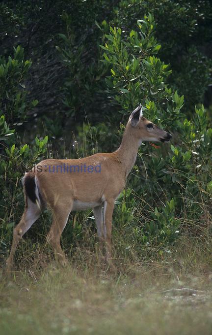 Key Deer (Odocoileus virginianus clavium), an endangered species on the Florida Keys, USA.