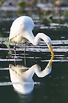 An egret reflected in the waters during dinner time