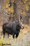Cow moose during autumn. Grand Teton National Park, Wyoming.