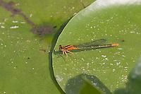 Lilypad Forktail (Ischnura kellicotti) Damselfly - Juvenile Female, Rockefeller State Park Preserve, Potanico Hills, Westchester County, New York
