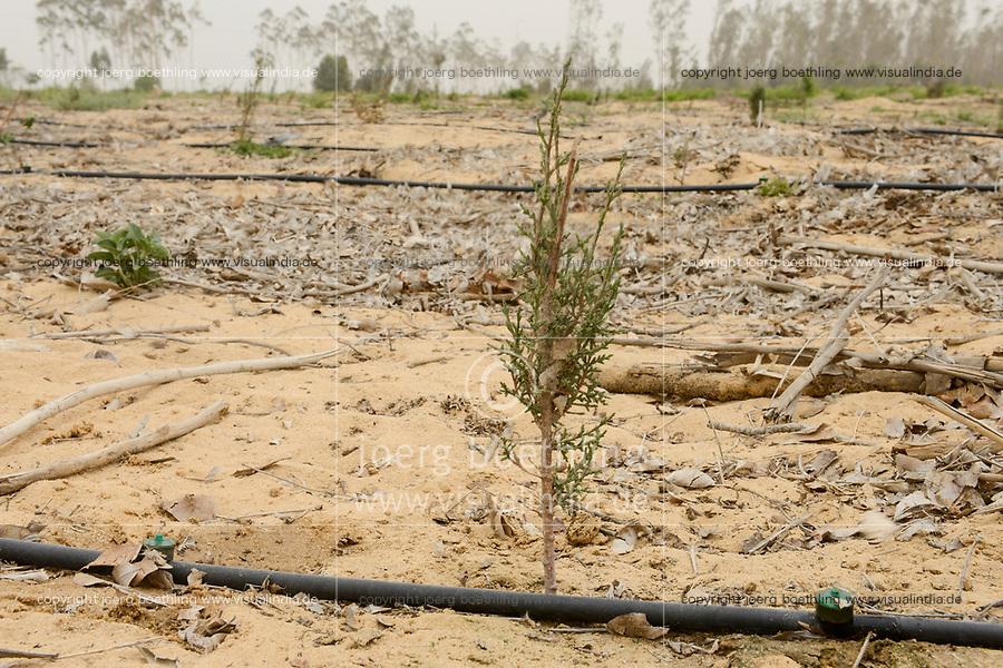 EGYPT, Ismallia , Sarapium forest in the desert, the trees are irrigated by treated sewage water from Ismalia, new plantation with drip irrigation / AEGYPTEN, Ismailia, Sarapium Forstprojekt in der Wueste, die Baeume werden mit geklaertem Abwasser der Stadt Ismalia bewaessert, kahl geforstete Flaeche, Neupflanzung mit Troepfchenbewaesserung