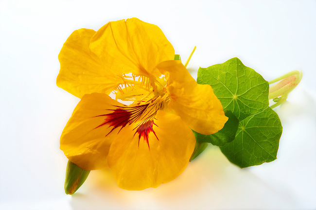 Yellow Nasturtium flower & leaves