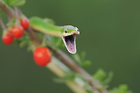 Rough Green Snake (Opheodrys aestivus), adult on berry bush, Refugio, Coastel Bend, Texas, USA