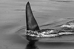 USA, Alaska, Glacier Bay National Park, orcas (Orcinus orca)