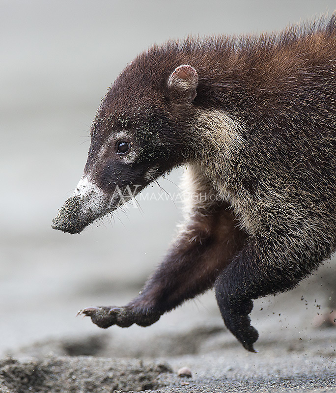 Coatis are often seen scrounging the beaches for washed up food.  They also dig for crabs and turtle eggs buried beneath the sand.