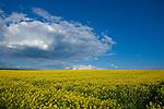 Europa, DEU, Deutschland, Hessen, Vogelsbergkreis, Lauterbach, Agrarlandschaft, Raps, Rapsbluete, Himmel, Cumuluswolken, Kategorien und Themen, Natur, Umwelt, Landschaft, Jahreszeiten, Stimmungen, Landschaftsfotografie, Landschaften, Landschaftsphoto, Landschaftsphotographie, Wetter, Himmel, Wolken, Wolkenkunde, Wetterbeobachtung, Wetterelemente, Wetterlage, Wetterkunde, Witterung, Witterungsbedingungen, Wettererscheinungen, Meteorologie, Bauernregeln, Wettervorhersage, Wolkenfotografie, Wetterphaenomene, Wolkenklassifikation, Wolkenbilder, Wolkenfoto<br /> <br /> [Fuer die Nutzung gelten die jeweils gueltigen Allgemeinen Liefer-und Geschaeftsbedingungen. Nutzung nur gegen Verwendungsmeldung und Nachweis. Download der AGB unter http://www.image-box.com oder werden auf Anfrage zugesendet. Freigabe ist vorher erforderlich. Jede Nutzung des Fotos ist honorarpflichtig gemaess derzeit gueltiger MFM Liste - Kontakt, Uwe Schmid-Fotografie, Duisburg, Tel. (+49).2065.677997, ..archiv@image-box.com, www.image-box.com]