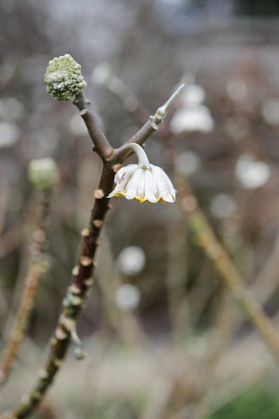 Edgeworthia chrysantha (oriental paperbush)