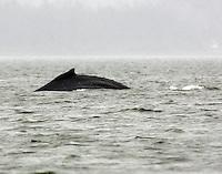 Humpback whale rolling