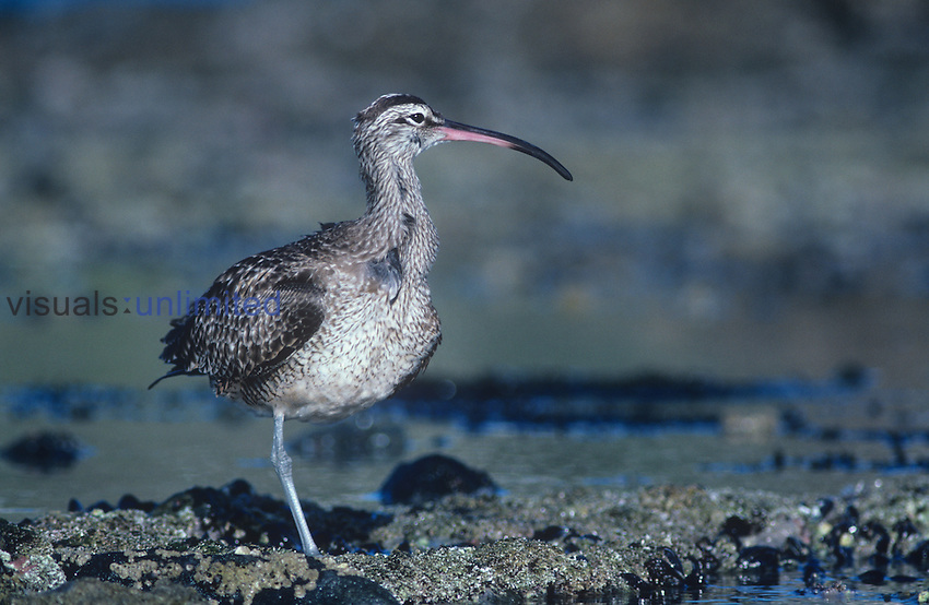 Whimbrel ,Numenius phaeopus, North America