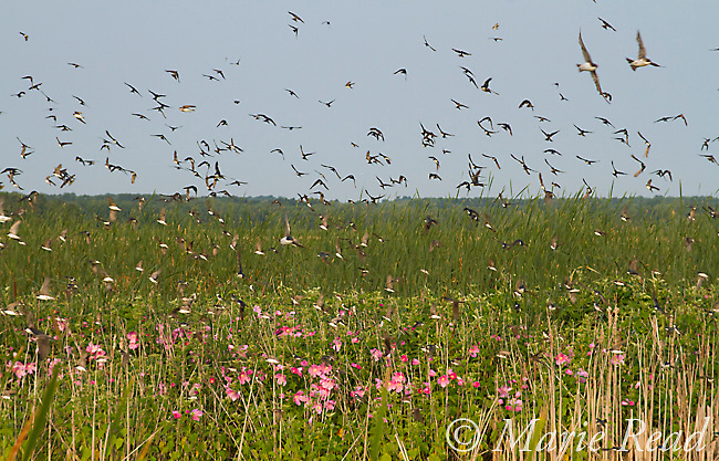 Tree Swallows (Tachycineta bicolor) flock flying out of their roost in marsh vegetation (incuding cattails and the pink flowers of swamp rose mallow) in late summer, Montezuma National Wildlife Refuge, New York, USA