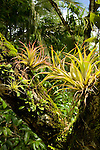 Bromeliads and other epiphytes on a rainforest tree trunk, Osa Peninsula, Costa Rica