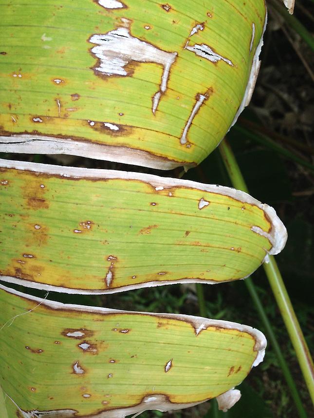 Leaf Detail, Iao Valley State Park, Maui, Hawaii, US