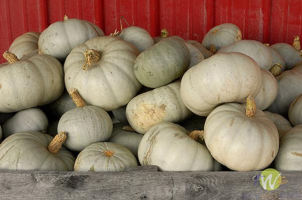 Grey ghost squash, Zacherl's Farm Market, Route 23