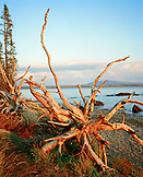 USA, Wyoming, dead tree uprooted on the shore of Yellowstone Lake, Yellowstone National Park