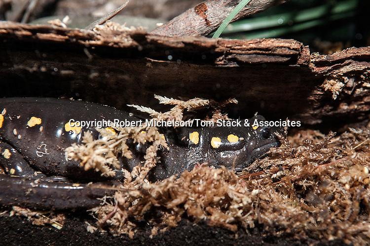 Spotted Salamander in peat moss, medium shot