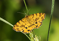 Speckled Yellow - Pseudopanthera macularia