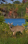 White-tailed doe in autumn.