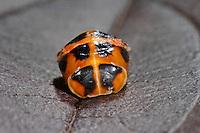 Asiatischer Marienkäfer, Harlekin, Puppe, Harmonia axyridis, Asian lady beetle, Harlequin lady beetle, pupa, pupae
