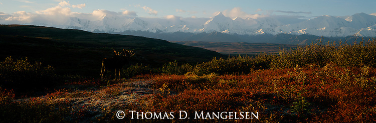 From atop a rise on the tundra, a massive bull moose surveys the sprawling landscape that is Denali National Park, Alaska.