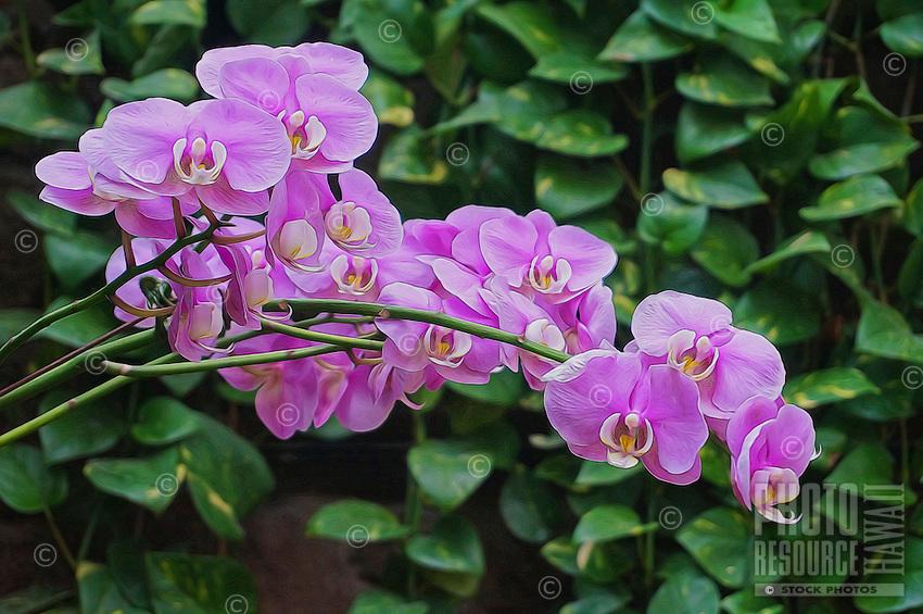 Lavender-colored orchids, Hawai'i.