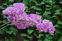 Lavender-colored orchids, Hawai'i.