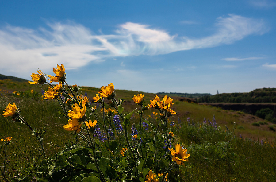 Balsamroot flowers are lit from above by the sun as an iridescent circumhorizontal arc forms in the cirrus clouds overhead along the Columbia River Gorge in Oregon.