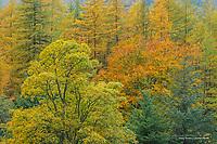 Forest in autumn, Scottish Highlands