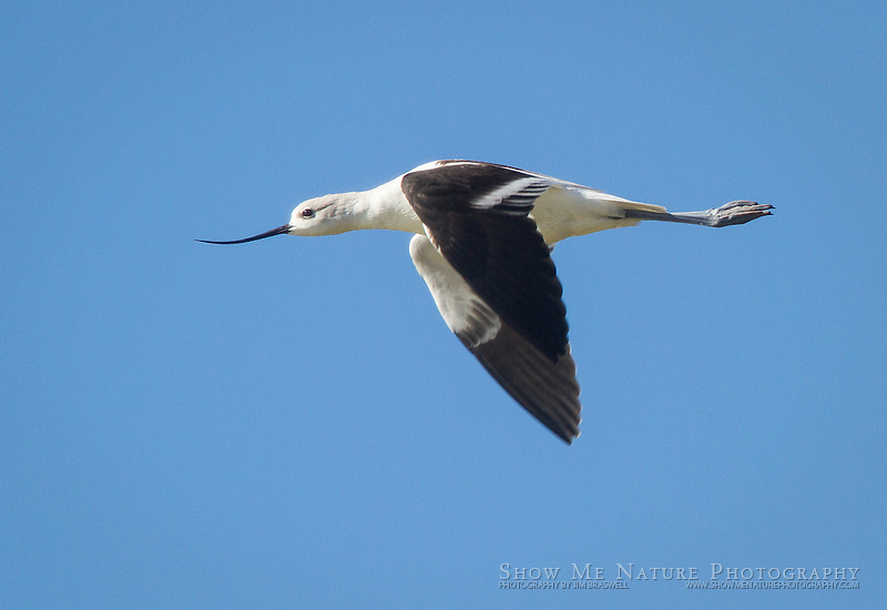 American Avocet, in flight