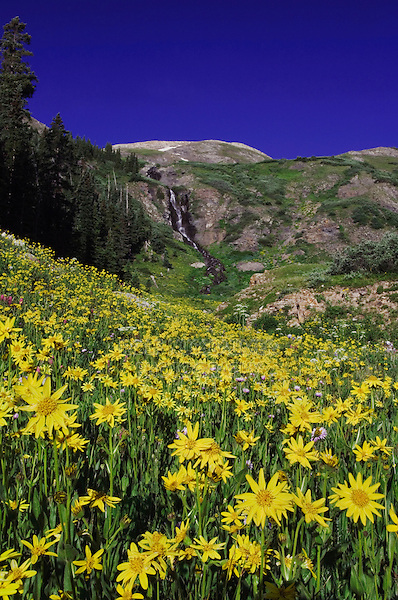 Waterfall and wildflowers in alpine meadow, Heartleaf Arnica,Arnica cordifolia, Ouray, San Juan Mountains, Rocky Mountains, Colorado, USA