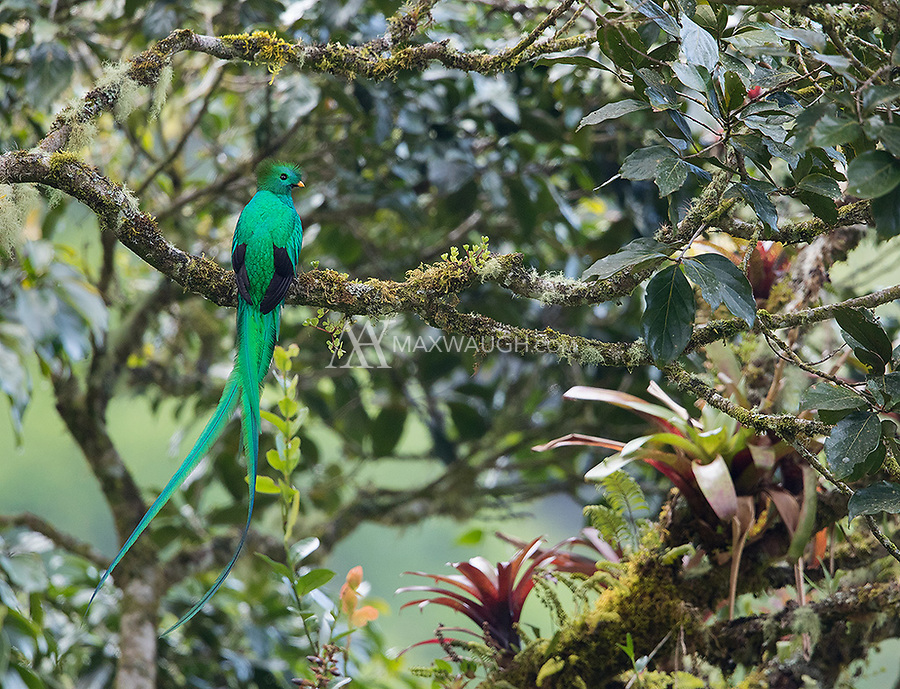 Though we did not have a lot of quetzal sightings this year, this was a nice perch.