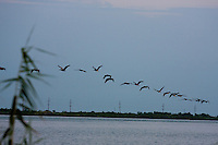 Brown pelicans, Pelecanus occidentalis, flying in formation in early morning near the Gulf of Mexico at Cameron, Louisiana.
