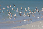 Sanibel Island, Florida; a flock of Sanderling (Calidris alba) birds in flight at the water's edge, Gulf of Mexico © Matthew Meier Photography, matthewmeierphoto.com All Rights Reserved