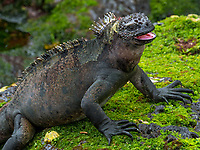 A Galapagos marine iguana snacks on moss exposed at low tide.