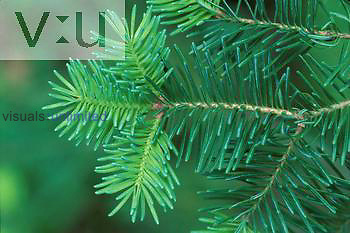 Branches of a Balsam Fir ,Abies balsamea,