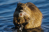 Nutria, Myocaster coypus, adult, New Braunfels, Texas, USA, March 2003