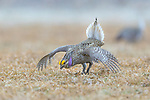 Male sharp-tailed grouse dancing on a lek in the Namekagon Barrens Wildlife Area. (Danbury, Wisconsin).