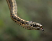 A Western Terrestrial Garter Snake in Washington State.