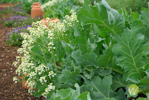 Monticello. Thomas Jefferson estate vegetable garden. Sea kale